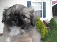 ckc reg. male Pekingese pup, 8 weeks old, he has had