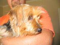 CKC Reg.yorkie Born on 12/12/2011.He is a little over 8