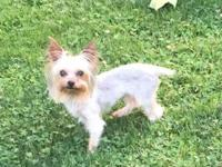 1year old CKC male Yorkie will make a great stud for