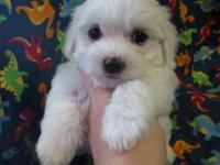We have a litter of CKC reg. Maltese. We have three