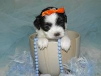 Priceless CKC registered Malti-tzu Guy young puppies.