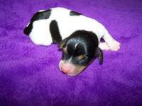 CKC Reg Miniature Dachshund Black and tan Piebald male.