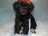 Valuable Miniature Poodle Guy puppy. This new puppy is