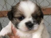 CKC REG. PARTY PEKINGESE PUPS, WILL HAVE THEIR FIRST