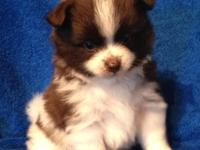 I have CKC Reg. Pomeranian Puppies. They have been vet