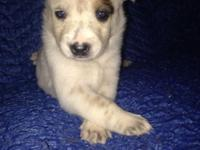 Ckc reg queensland Heeler puppies. Born August 9-2015 ,