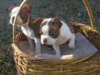 CKC Reg. Red Boston Terrier young puppies. 2 males