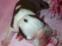 Have one Ckc reg male Boston terrier puppie available
