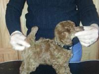 18month old red toy poodle, ckc reg. 7lb. in size toy.