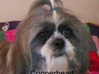 CKC SHIH TZU MALE EXCELLET BREEDER GOOD WITH KIDS. BUT