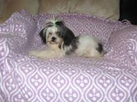 CKC Registered Shih Tzu puppies. Beautiful, loveable,