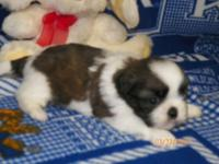 CKC SHIH TZU MALE COLOR LIVER AND WHITE WILL HAVE SHOT