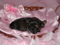 Beautiful CKC registered Shorkie Female young puppies.