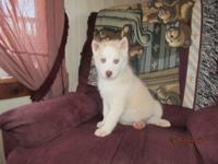 CKC Reg. male Siberian husky puppy ready for new home.