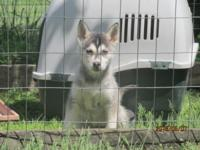 We have 3 CKC Reg. Siberian husky puppies ready for new
