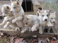 We have 5 husky puppies CKC Reg. 3 kids and 2 girls.