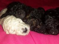 CKC signed up Standard Poodles. Cream, black and