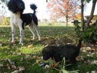 CKC registered Standard Poodles. one black lady and 2