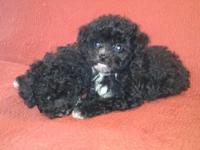 I have 2 female Toy Poodle puppies looking for their