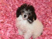 CKC reg Female Toy Poodles 1-white/cream parti,