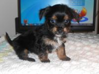 We have 1 male yorkie/chi mix puppy 8 weeks old. Up to
