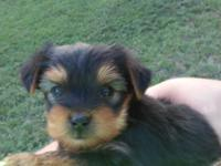 i have 3 yorkie puppies 6 weeks old. have tails docked,