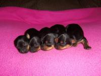 We have 4 beautiful yorkie puppies, 1 female and 3