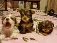 I have 2 chocolate female Yorkie pups and 1 male parti