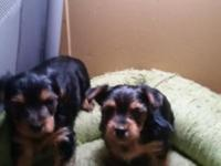 Ckc reg. Yorkie babies both females. They have been vet