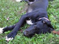 Six month old black great dane female. She is