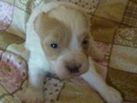 AKC/CKC Registered Dixie a pure bred Maltese and