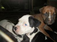 6 Boys, 2 Girls, Southern Rebel Bloodlines. 5 Weeks