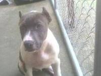 This is a nice (Purebred) American Pitbull Terrier. He