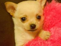 I have 2 gorgeous shorthair Chihuahua females they were
