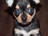 I have a shorthair applehead Chihuahua male he was born
