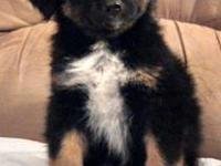 CKC Registered Australian Shepherd puppies. Two males