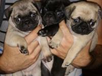 I have CKC registered baby pugs for sale...I have 2