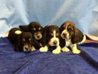 This is a litter of CKC registered basset hound