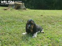 We have a Beautiful litter of tri-colored Basset Hound