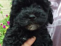 CKC Registered Black Toy Poodle Puppy for sale. I have