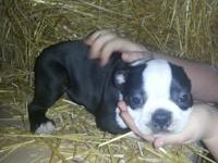 Farm raised Boston Terrier puppies. CKC Registered 2