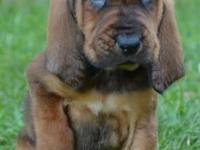 We have 6 Bloodhound puppies for sale. 3 Males and 3