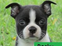 We have 2 Quality CKC Registered Boston Terrier Puppies