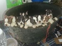 Farm raised Boston Terrier puppies. CKC Registered