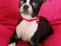 CKC Registered Boston terrier puppy born 11/25/14 He is