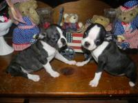 CKC Registered Boston Terrier Puppies..only 2 males