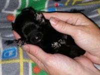 Beautiful CKC registered black male chi-poo puppy. Born