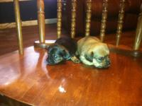 We have four beautiful Chi-weenie babies for sale. The
