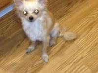 CKC Registered Female Chihuahua- Born Oct 18, 2012. Her
