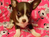I have 3 CKC registered Chihuahua females born 7/1/2015
